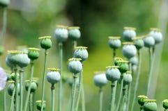 Poppy head. Royalty Free Stock Image