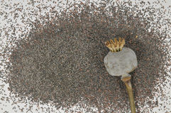 Poppy head with seeds Stock Photography