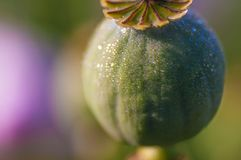 Poppy-head with water drops Stock Photography