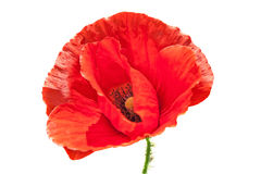 Red Poppy on a white. This photo is suited to web-designers or web-page creators thanks to isolated object and white background Stock Photos