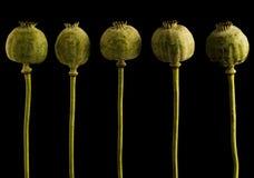 Poppy heads Stock Photo