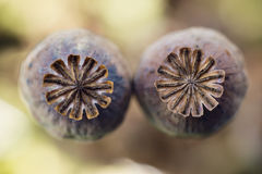 Poppy heads on field, papaver somniferum capsules, macro photography Royalty Free Stock Image