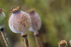 Poppy heads on field, papaver somniferum capsules, macro photography Stock Images