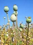 Poppy heads Stock Images