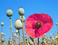 Poppy heads Royalty Free Stock Image