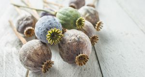 Poppy heads freely lying on a wooden board.  Royalty Free Stock Images