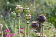 Poppy heads in the garden Royalty Free Stock Photography