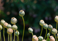 Poppy heads Royalty Free Stock Image