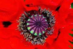 Poppy heart macro royalty free stock images