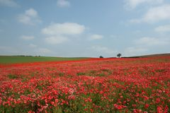 Poppy Heaven. Landscape - poppy field, blue sky and green grass Stock Image