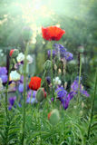 Poppy and irises on a meadow Royalty Free Stock Images
