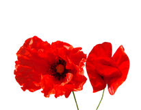 Poppy isolated Royalty Free Stock Photo