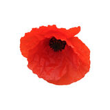 Poppy isolated Royalty Free Stock Image