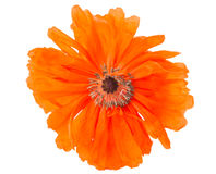 Poppy isolated Royalty Free Stock Images