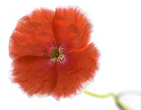 Poppy isolated on white Royalty Free Stock Photo