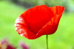 Poppy in the field stock photography