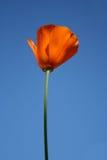 poppy kalifornii Zdjęcia Royalty Free