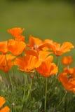 poppy kalifornii Zdjęcie Stock