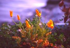 poppy kalifornii Fotografia Royalty Free