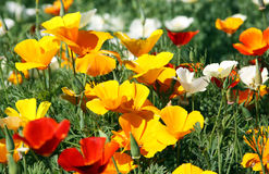 poppy kalifornijczyka Obrazy Royalty Free