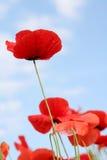 poppy kukurydziany Zdjęcie Royalty Free