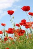 poppy kukurydziany Fotografia Stock