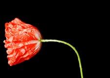 poppy kwiatów Zdjęcie Stock