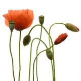 poppy kwiatów Obraz Royalty Free