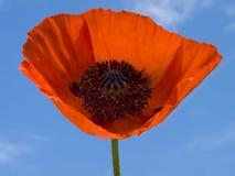 poppy kwiat Obrazy Stock