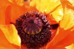 poppy kwiatów Fotografia Royalty Free