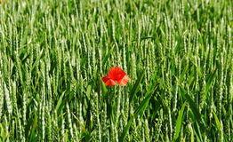 Poppy on the land. Stock Images
