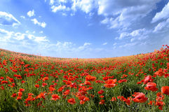 Poppy landscape Royalty Free Stock Image