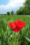 Poppy in landscape Royalty Free Stock Photo