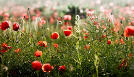 Poppy landscape. Landscape with a field of poppy and a rural road Stock Image
