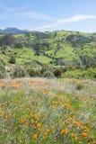 Poppy Landscape Royalty Free Stock Photo