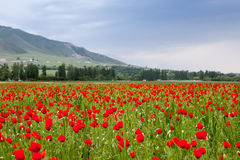 Poppy landscape Royalty Free Stock Photos