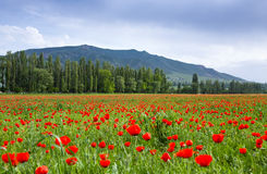 Poppy landscape Stock Photo