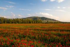 Poppy landscape Stock Images