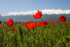 Poppy landscape Stock Photography