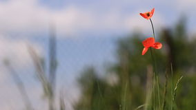 Poppy landscape video Stock Photo