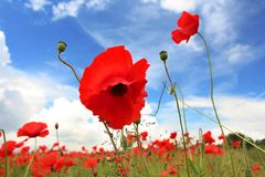 poppy lanscape pola Zdjęcia Royalty Free