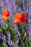 Poppy and lavander Royalty Free Stock Images