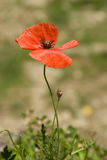 Poppy On Light Natural Background stockfoto