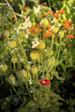 A poppy and lot of poppy capsules. Lonesome poppy surrounded by poppy capsules and a flushy vegetaion Royalty Free Stock Image