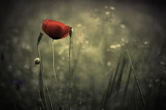 Poppy. Macro photo of opened with red poppies in the spring Royalty Free Stock Images