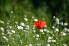 Poppy in May in Romania Stock Photo