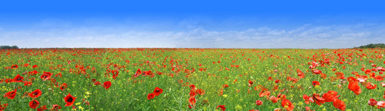 Poppy meadow Royalty Free Stock Photo