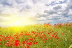 Poppy meadow. Stock Photography