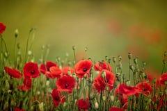 Poppy Meadow Fotografía de archivo libre de regalías