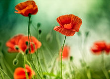 Poppy Meadow Images stock